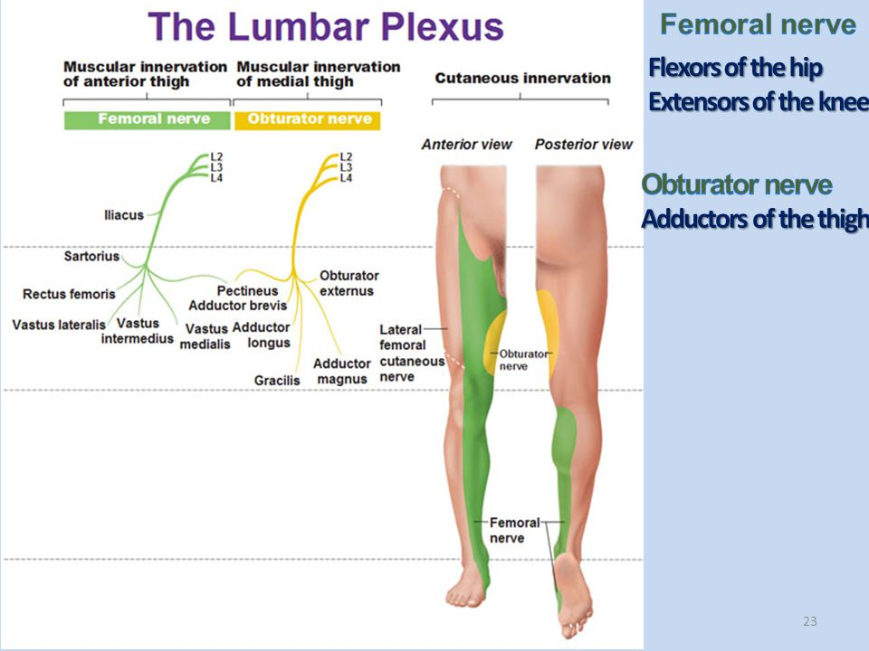 Femoral nerve Flexors of the hip Extensors of the knee Obturator nerve Adductors of the thigh