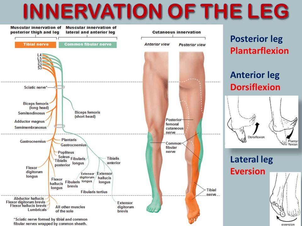 INNERVATION OF THE LEG Posterior leg Plantarflexion Anterior leg