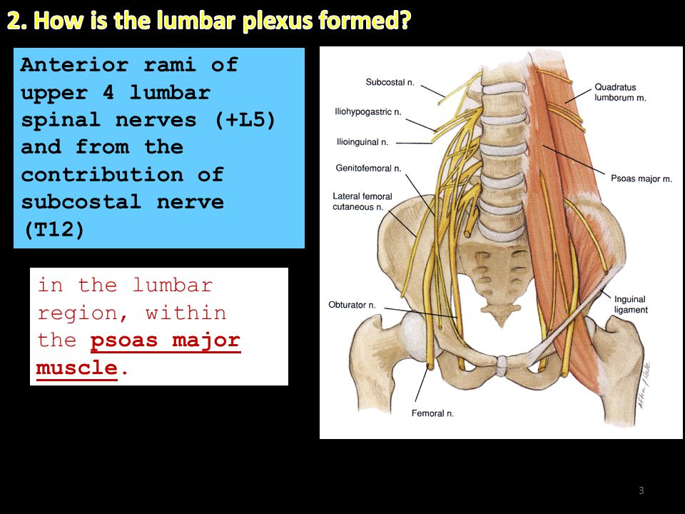 2. How is the lumbar plexus formed
