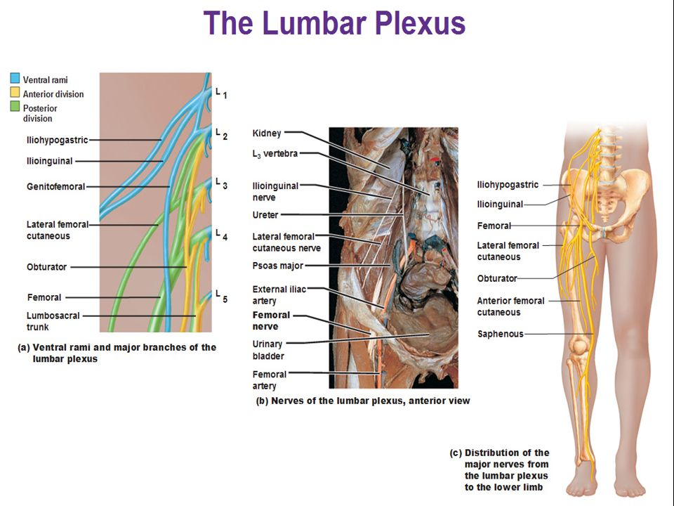 3. Nerves of the lumbar plexus