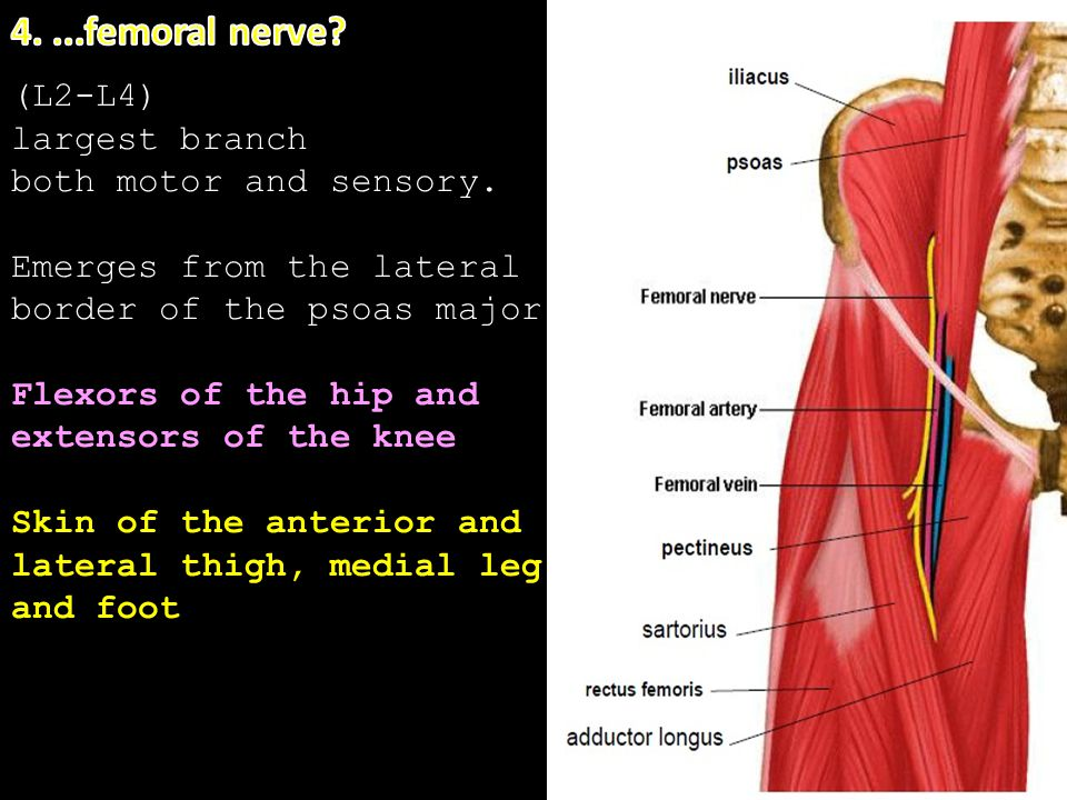 4. ...femoral nerve (L2-L4) largest branch both motor and sensory.