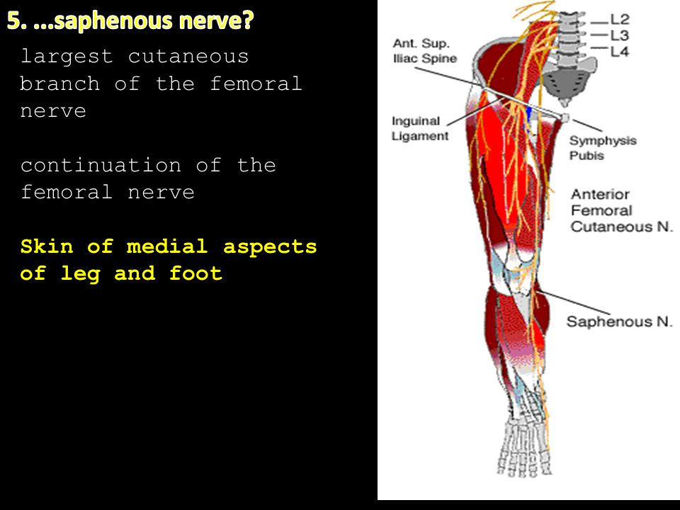 5. ...saphenous nerve largest cutaneous branch of the femoral nerve