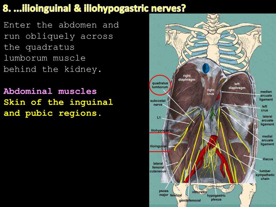 8. ...ilioinguinal & iliohypogastric nerves