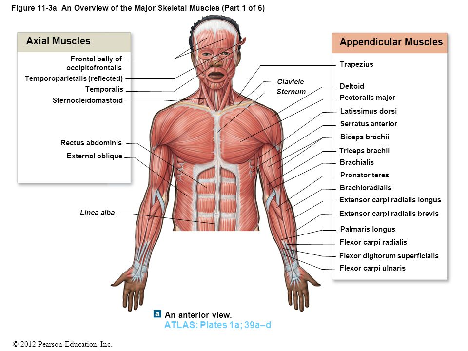 Groß Muscle Man Anatomy And Physiology Ideen - Anatomie Ideen ...