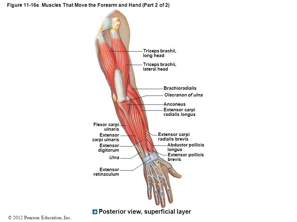 Figure 11-16a Muscles That Move the Forearm and Hand (Part 2 of 2)