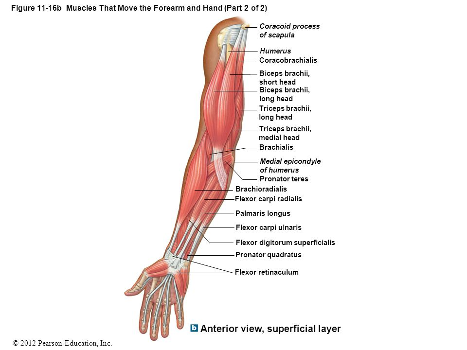 Figure 11-16b Muscles That Move the Forearm and Hand (Part 2 of 2)