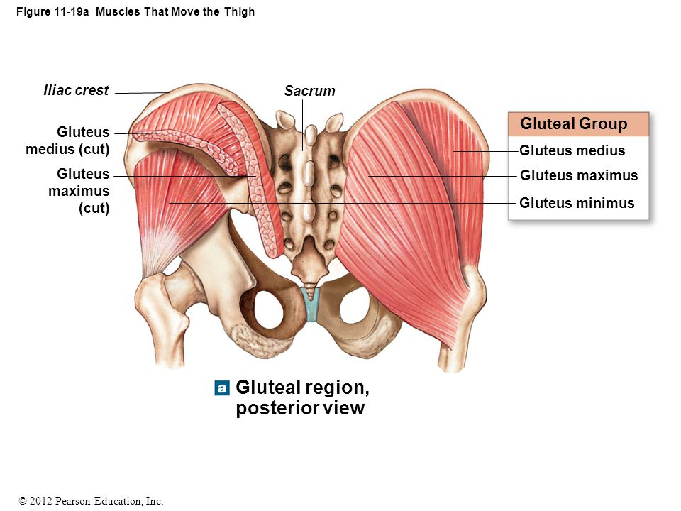 Figure 11-19a Muscles That Move the Thigh
