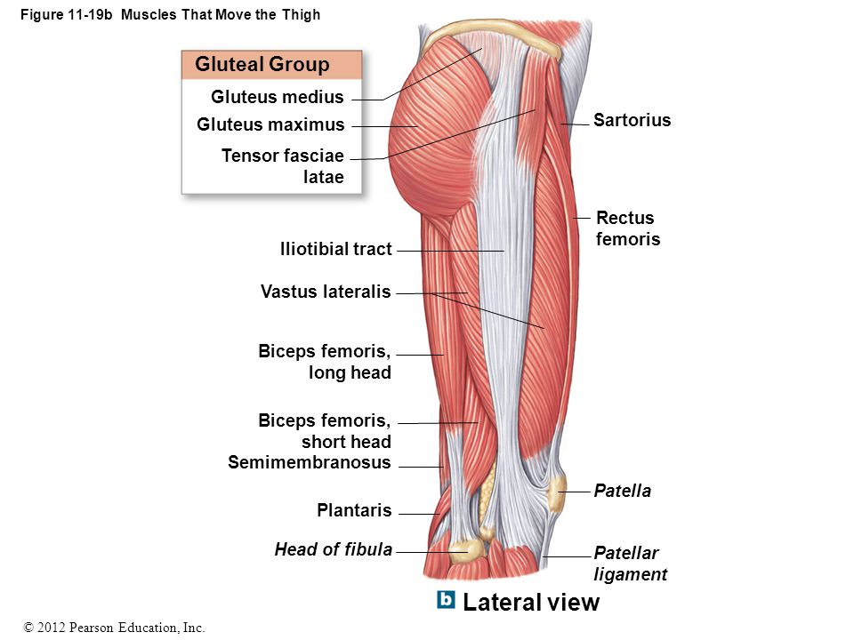 Figure 11-19b Muscles That Move the Thigh