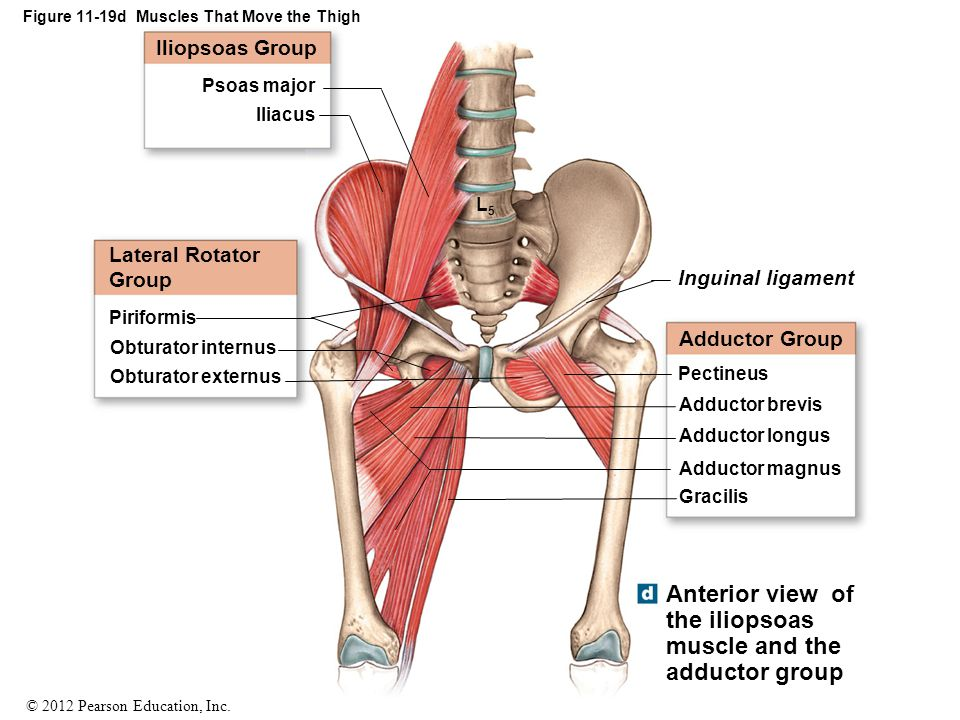Figure 11-19d Muscles That Move the Thigh