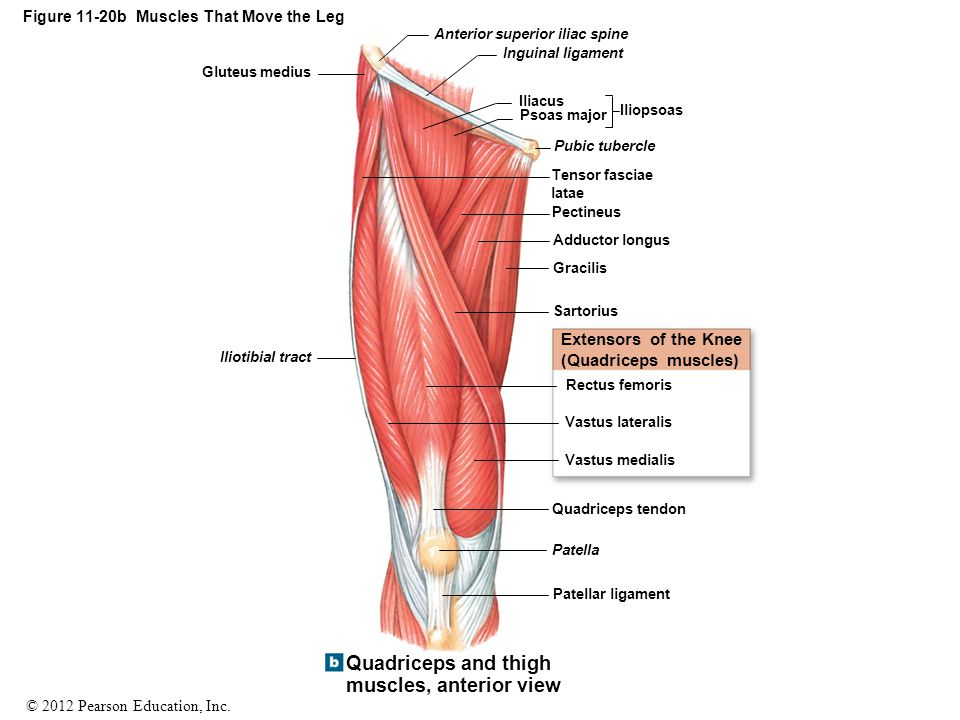 Figure 11-20b Muscles That Move the Leg