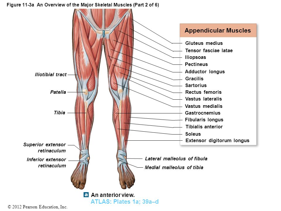 figure 11-3a an overview of the major skeletal muscles (part 1 of, Muscles