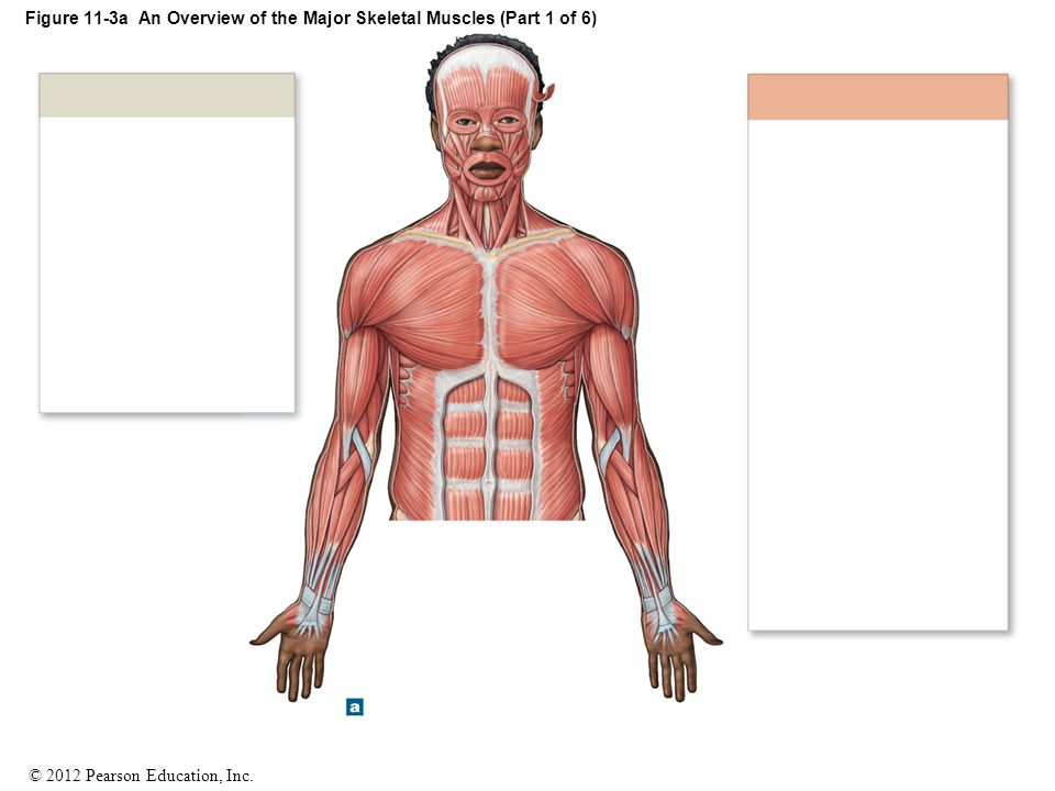 Figure 11-3a An Overview of the Major Skeletal Muscles (Part 1 of 6)