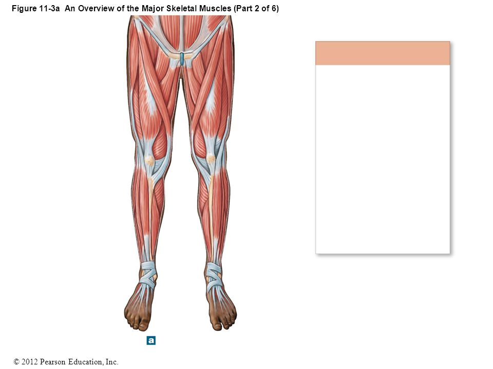 Figure 11-3a An Overview of the Major Skeletal Muscles (Part 2 of 6)