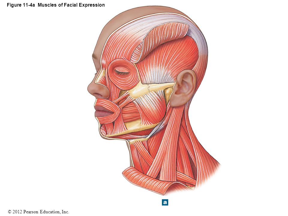 Figure 11-4a Muscles of Facial Expression