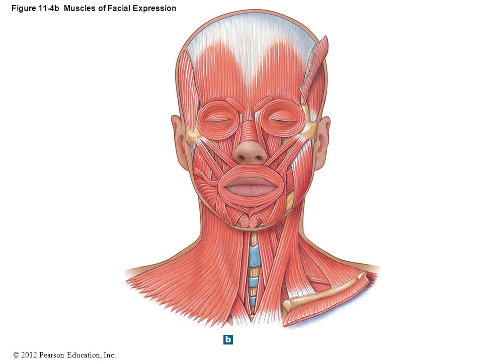 Figure 11-4b Muscles of Facial Expression