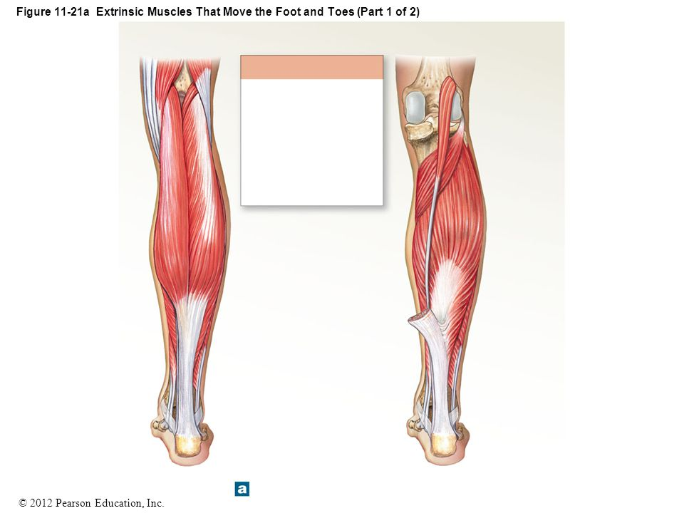 Figure 11-21a Extrinsic Muscles That Move the Foot and Toes (Part 1 of 2)