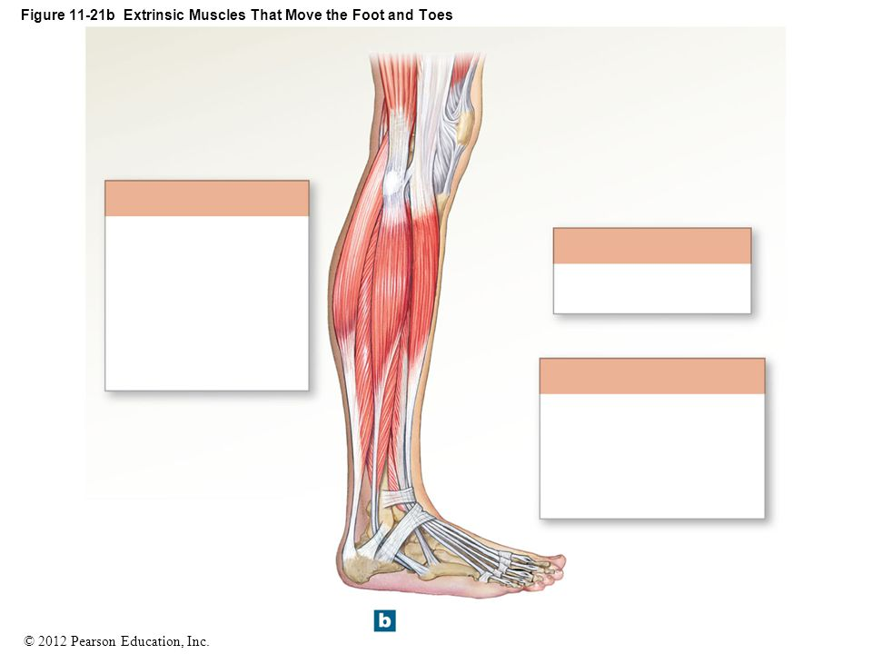 Figure 11-21b Extrinsic Muscles That Move the Foot and Toes