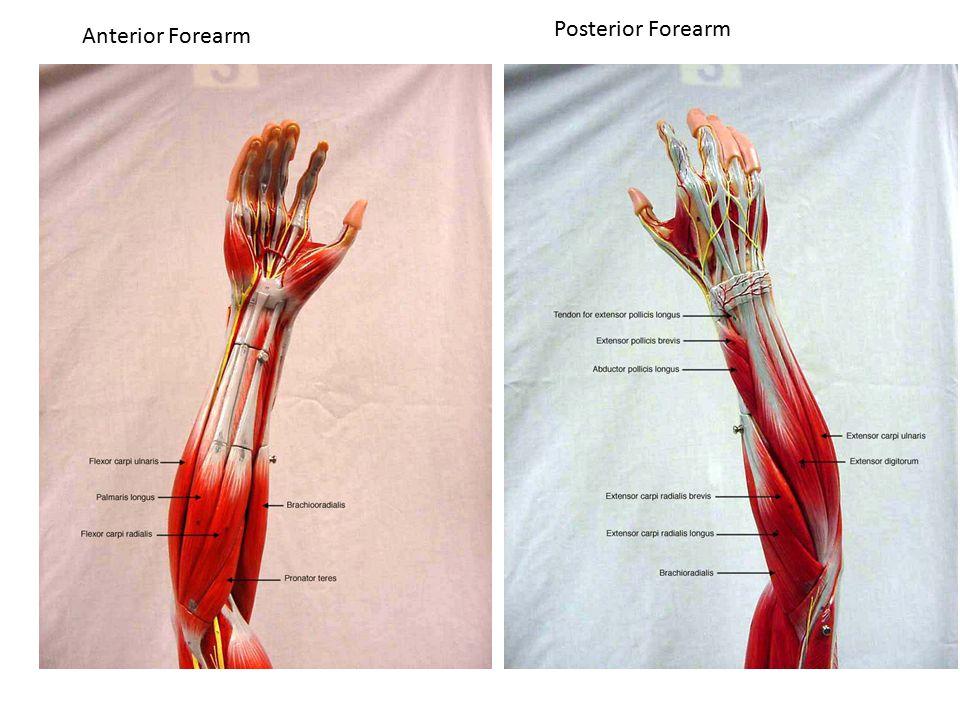 Posterior Forearm Anterior Forearm