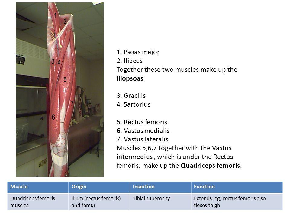 5. Rectus femoris 6. Vastus medialis 7. Vastus lateralis