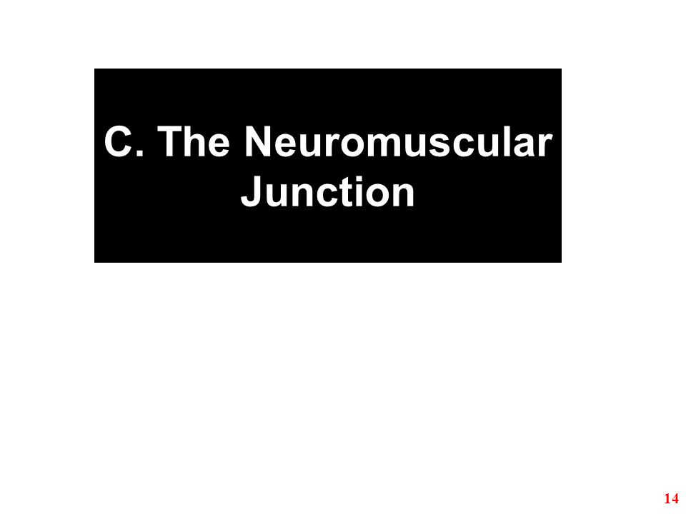 C. The Neuromuscular Junction