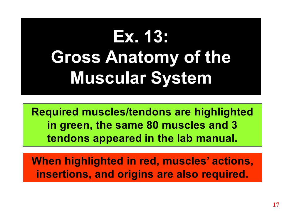 Ex. 13: Gross Anatomy of the Muscular System
