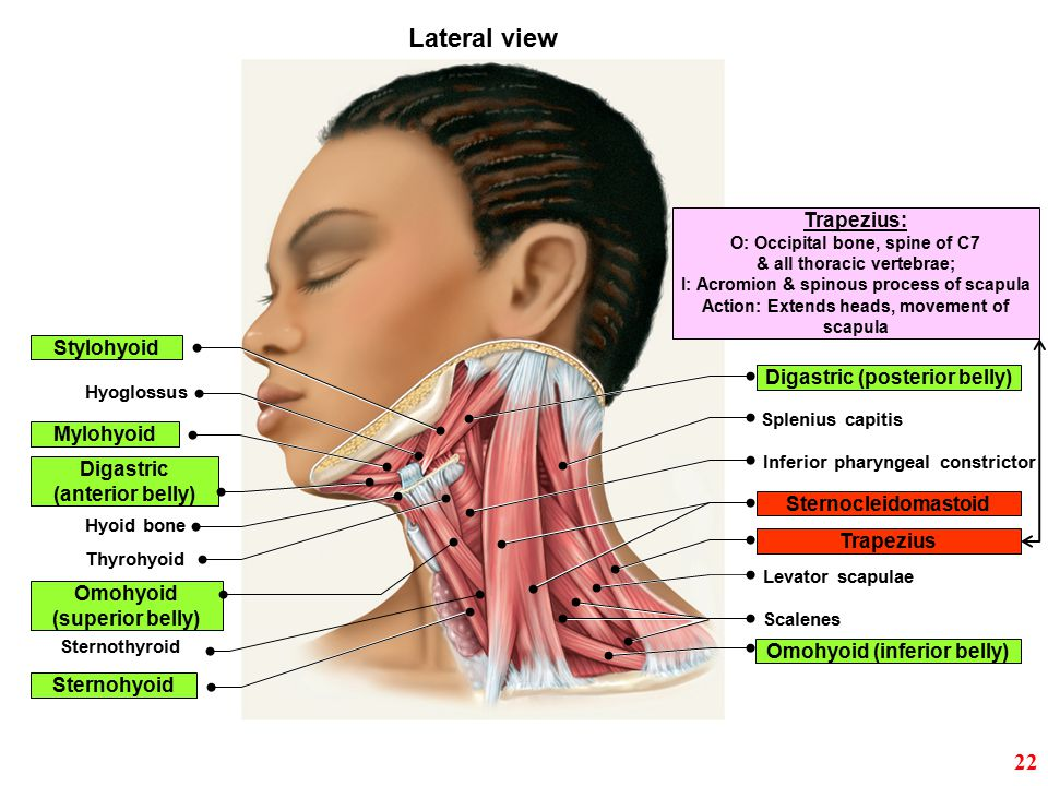 Lateral view 22 Trapezius: Stylohyoid Digastric (posterior belly)