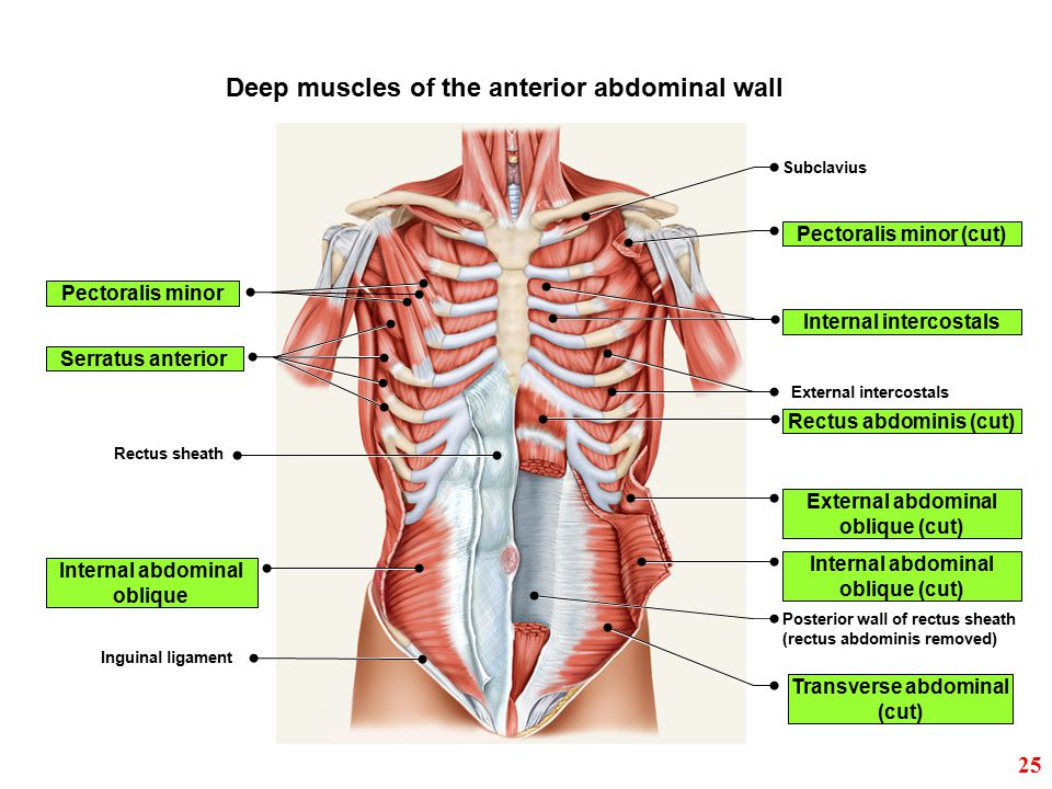 Deep muscles of the anterior abdominal wall