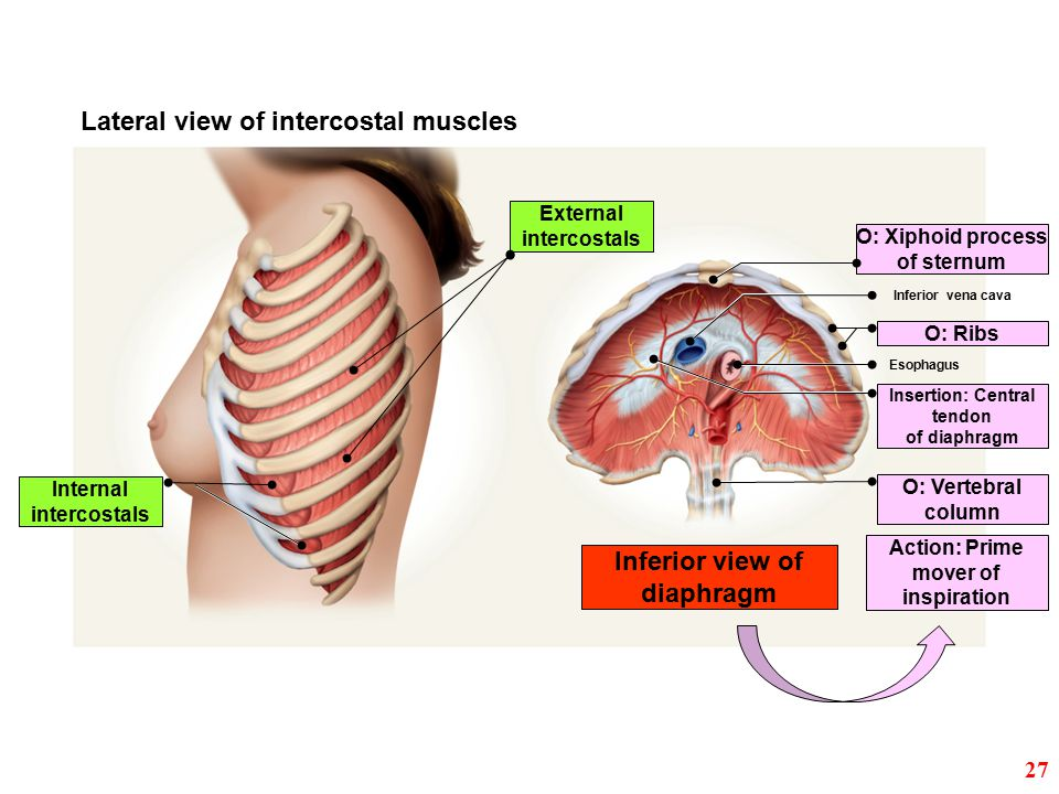 Action: Prime mover of inspiration Inferior view of diaphragm