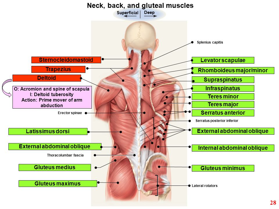 Neck, back, and gluteal muscles