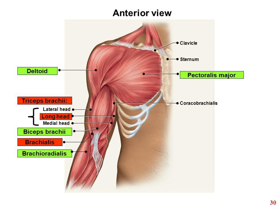Anterior view Deltoid Pectoralis major Triceps brachii: Biceps brachii
