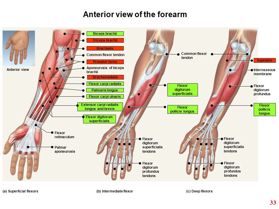 Anterior view of the forearm Extensor carpi radialis