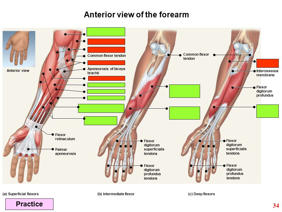 Anterior view of the forearm