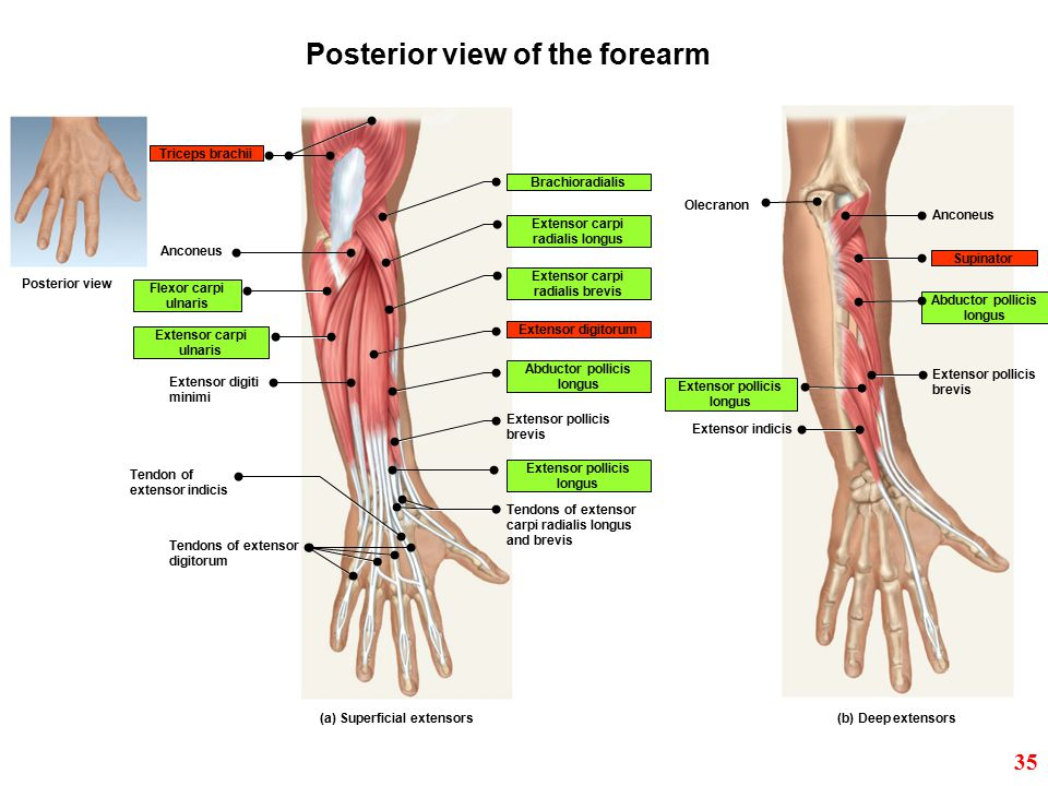 Posterior view of the forearm