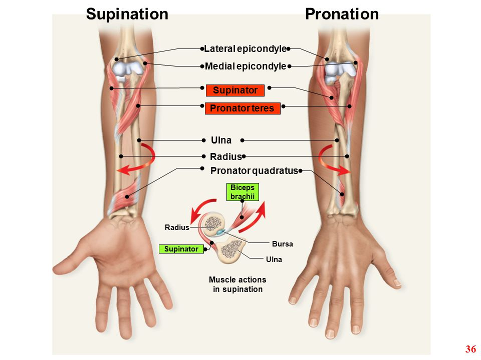 Supination Pronation 36 Lateral epicondyle Medial epicondyle Supinator