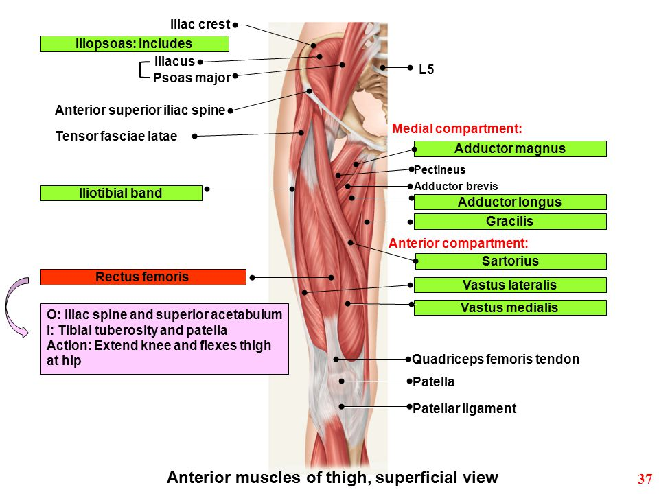 Anterior muscles of thigh, superficial view