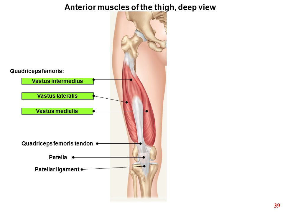 Anterior muscles of the thigh, deep view
