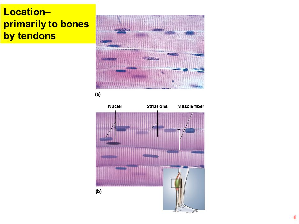 Location– primarily to bones by tendons