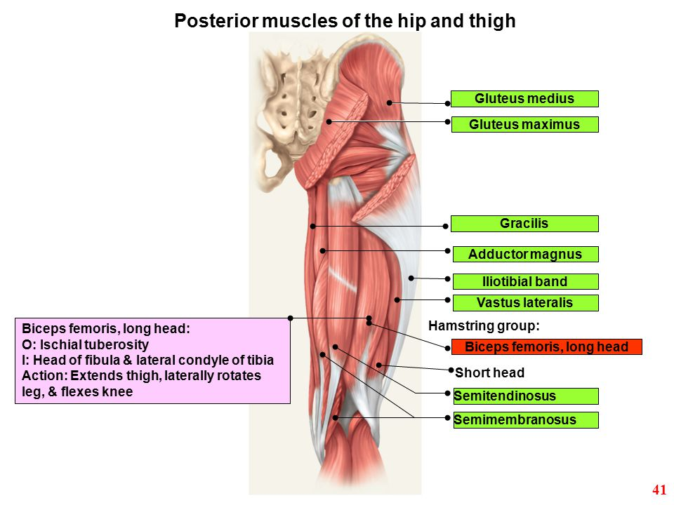 Posterior muscles of the hip and thigh Biceps femoris, long head
