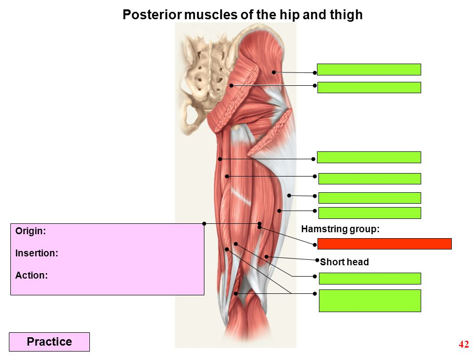 Posterior muscles of the hip and thigh
