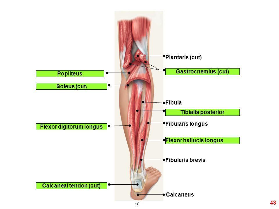 ex. 12: skeletal muscle. - ppt video online download, Cephalic Vein