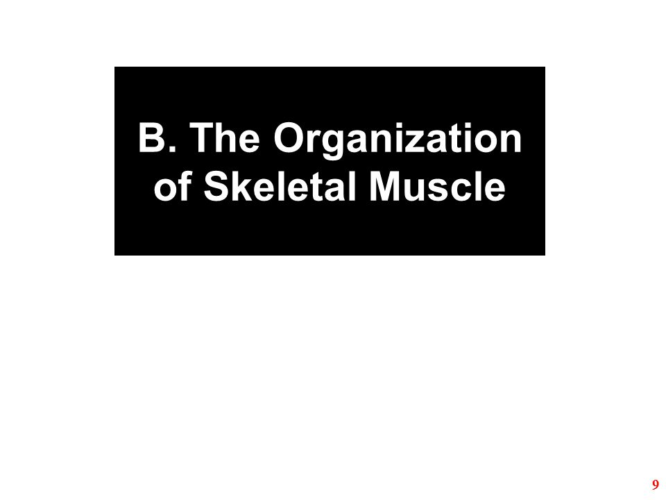B. The Organization of Skeletal Muscle