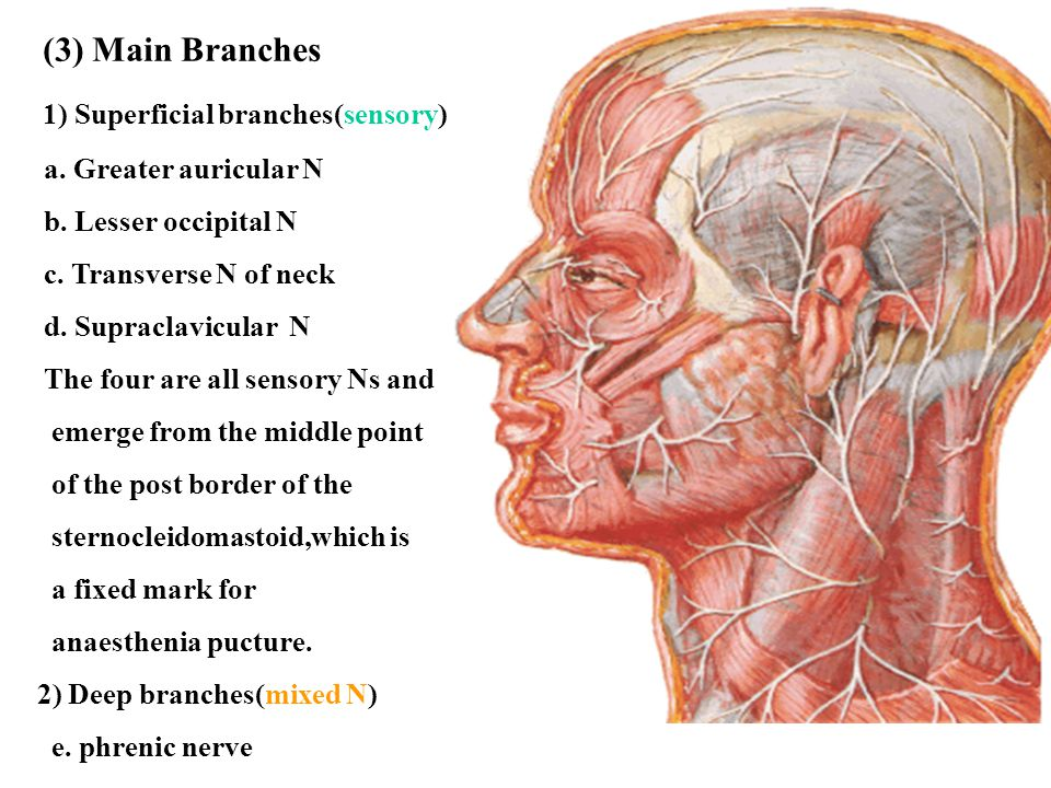 1) Superficial branches(sensory)