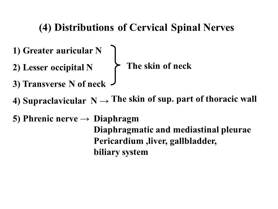 (4) Distributions of Cervical Spinal Nerves