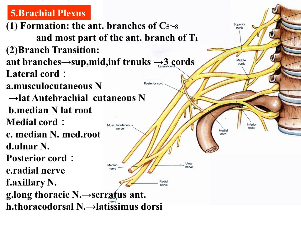 5.Brachial Plexus (1) Formation: the ant. branches of C5~8. and most part of the ant. branch of T1.
