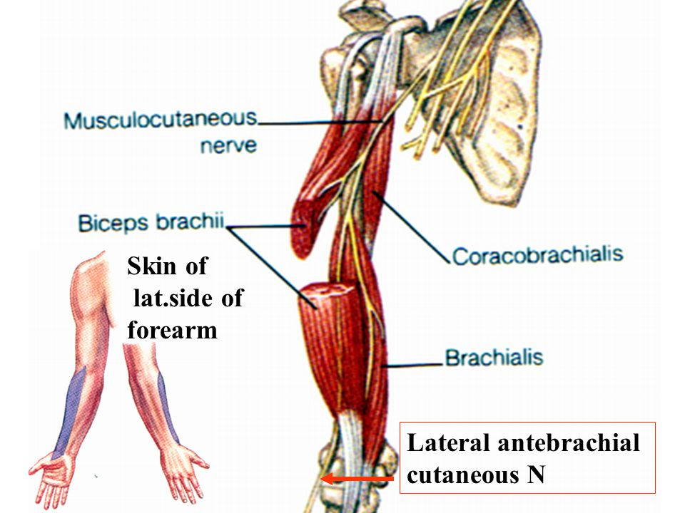 Skin of lat.side of forearm Lateral antebrachial cutaneous N