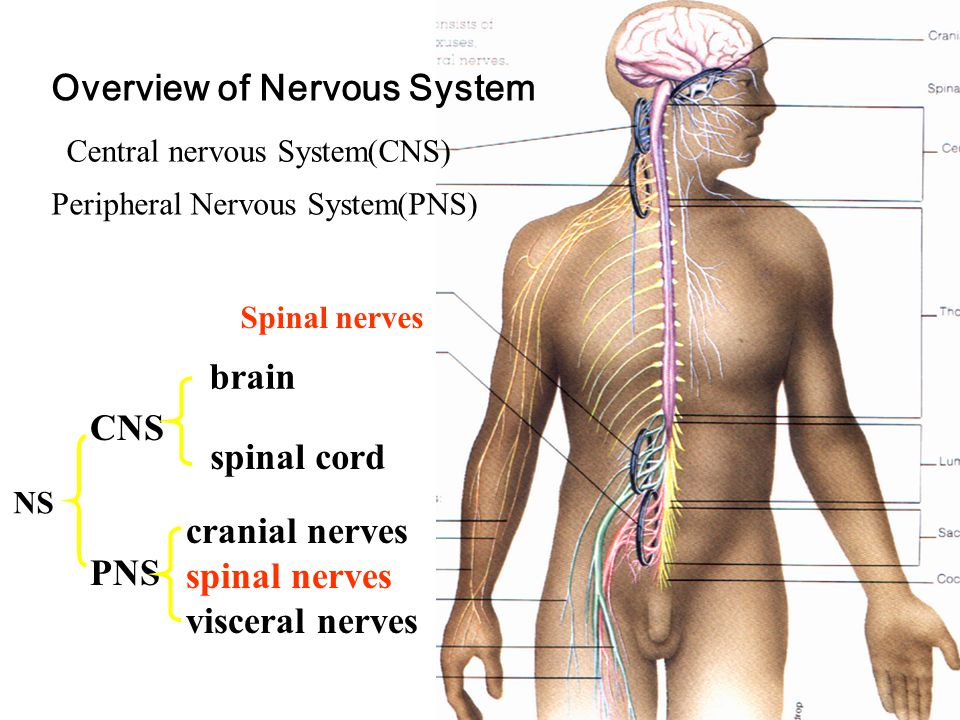 Overview of Nervous System