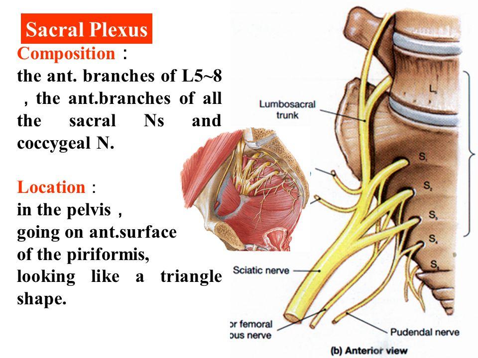 Sacral Plexus Composition: