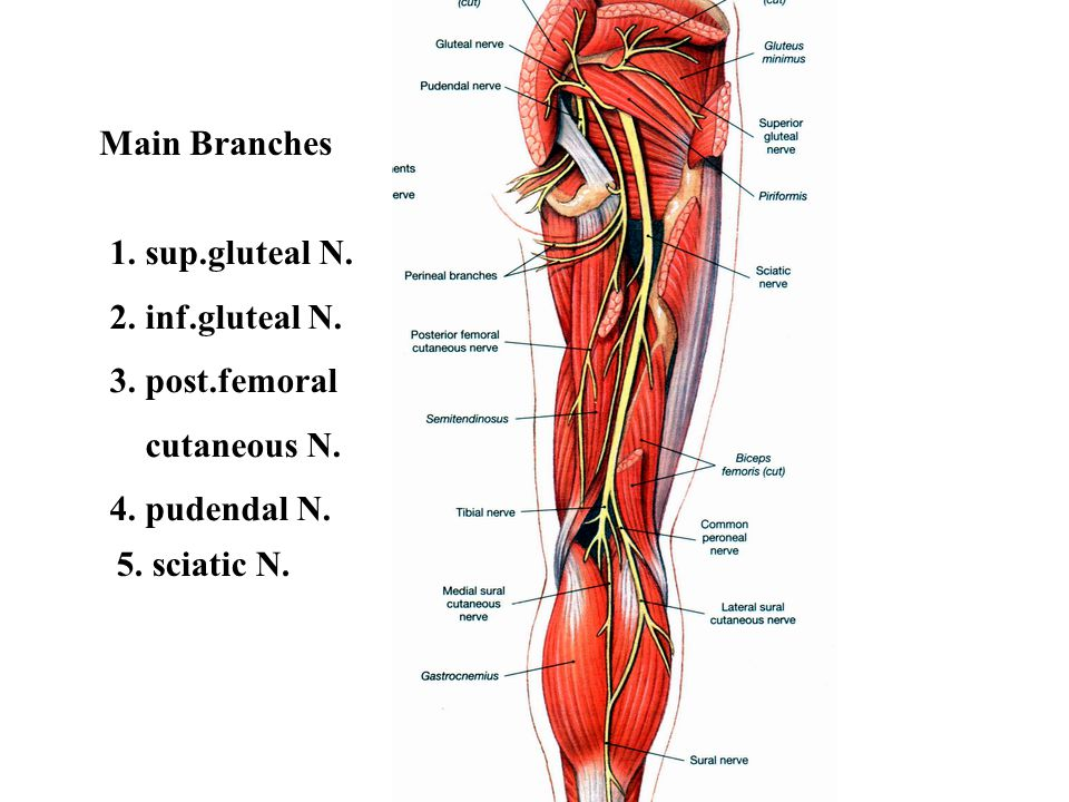 Main Branches 1. sup.gluteal N. 2. inf.gluteal N.
