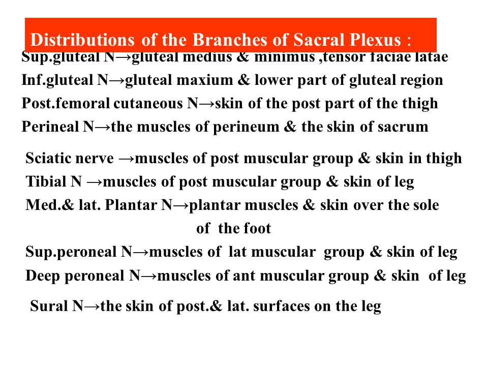 Distributions of the Branches of Sacral Plexus: