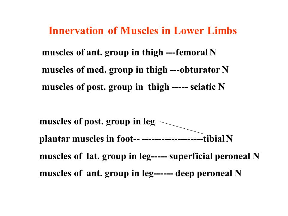 Innervation of Muscles in Lower Limbs